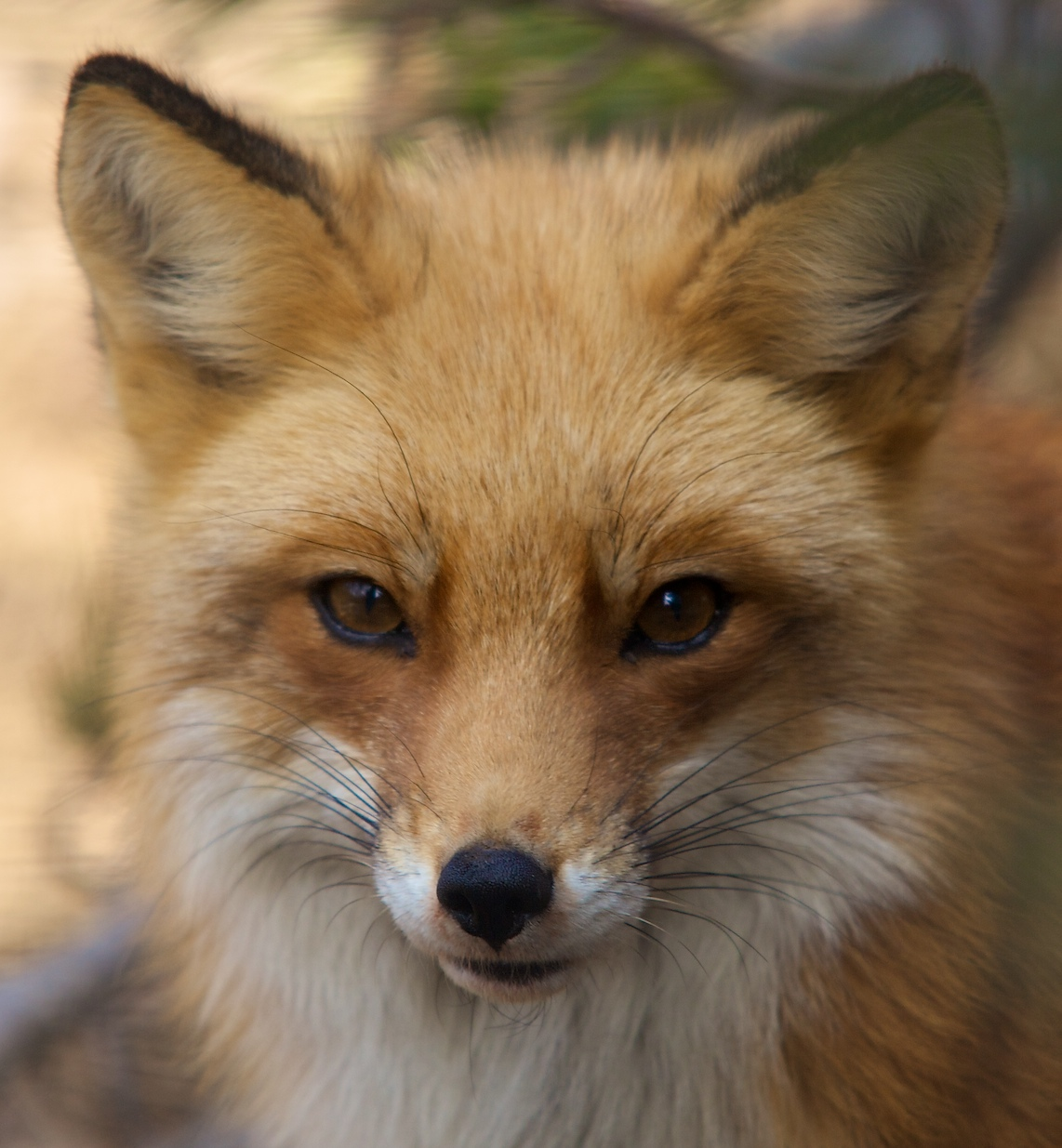 red fox face and - photo #10