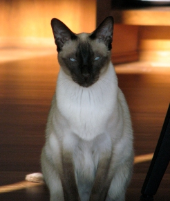 Loki, a beautiful Siamese Cat from Apple Valley, MN