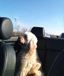Minnie loves her convertible rides - lucky dog! Goldendoodle from Prior Lake, MN