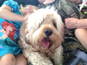 "Minnie gets lots of attention from her ""people"". Goldendoodle from Prior Lake, MN"