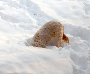 Can you find the Goldendoodle in this photo? Minnie from Prior Lake, MN