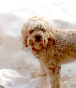 Minnie having fun in Minnesota snow. Goldendoodle from Prior Lake, MN