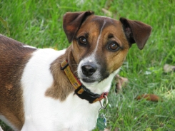 Oscar, Jack Russell from Lakeville, MN