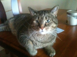 Teddy, Tabby Cat from Lakeville, MN