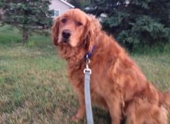 Daisy, Golden Retriever from Lakeville, MN