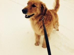 Simon, Golden Retriever, loves to walk in the snow.